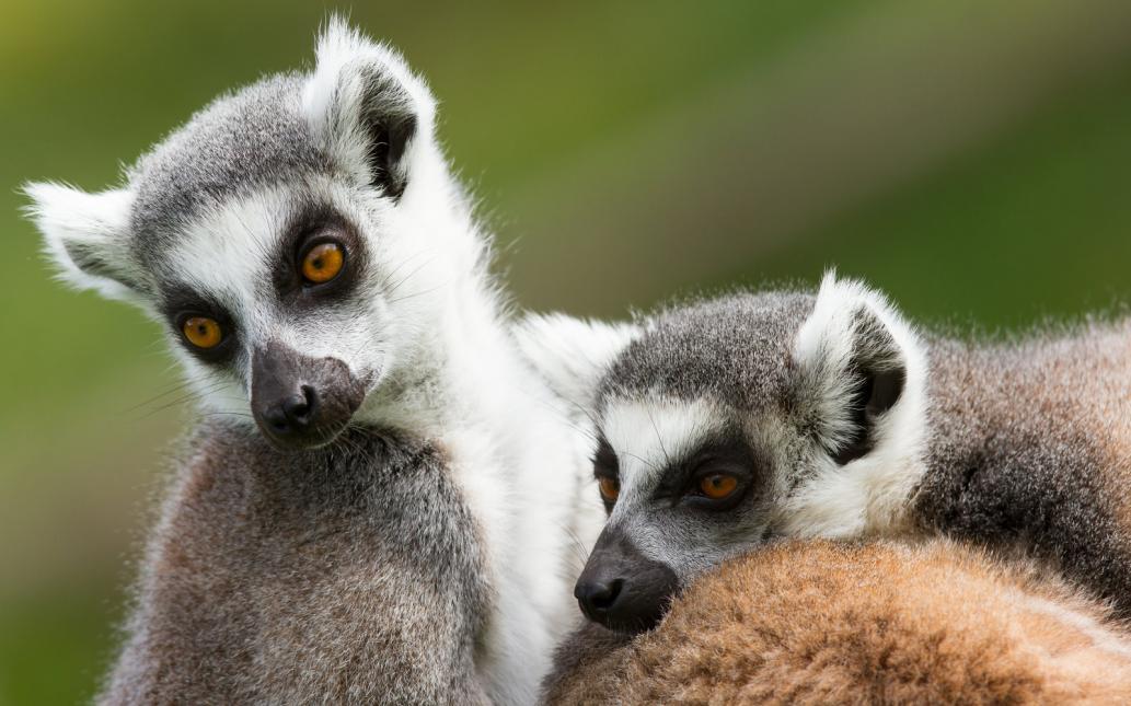 Tierpark Olderdissen Bielefeld: Affen, Bären, Elche, Rehe, Esel, Rinder, Bison, Rothirsch, Braunbär, Auerhahn, Pfau, Eulen, Wisent, Wildschweine, Hirschwild, Rotwild, Heimtiere, Wildtiere,  Öffnungszeiten, Anfahrt, Eintritt, Tiere, Restauranttwo-ring-tailed-lemurs-lemur-catta