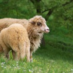 two-sheeps