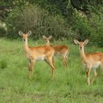 uganda-kobs-in-green-vegetation