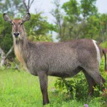 waterbuck-in-the-african-bush