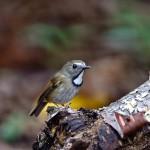 white-gorgeted-flycatcher