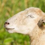 white-sheep-enjoying-the-sun