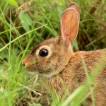 wild-brown-rabbit-sitting-in-grass-closeup