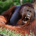 yawning-orangutan