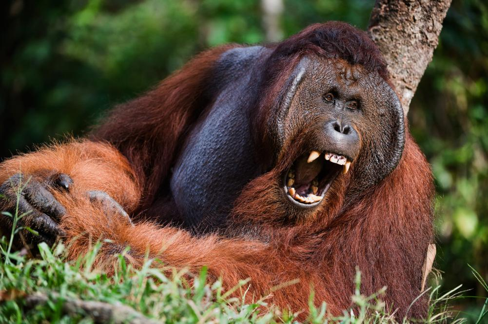 Tierpark Olderdissen Bielefeld: Affen, Bären, Elche, Rehe, Esel, Rinder, Bison, Rothirsch, Braunbär, Auerhahn, Pfau, Eulen, Wisent, Wildschweine, Hirschwild, Rotwild, Heimtiere, Wildtiere,  Öffnungszeiten, Anfahrt, Eintritt, Tiere, Restaurantyawning-orangutan