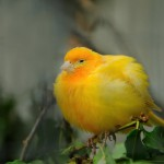 yellow-canary-bird