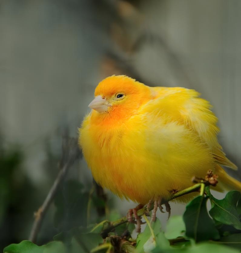 yellow-canary-bird