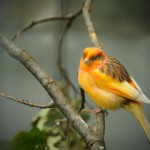 yellow-orange-canary