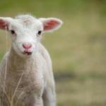 young-baby-lamb