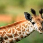 young-giraffe
