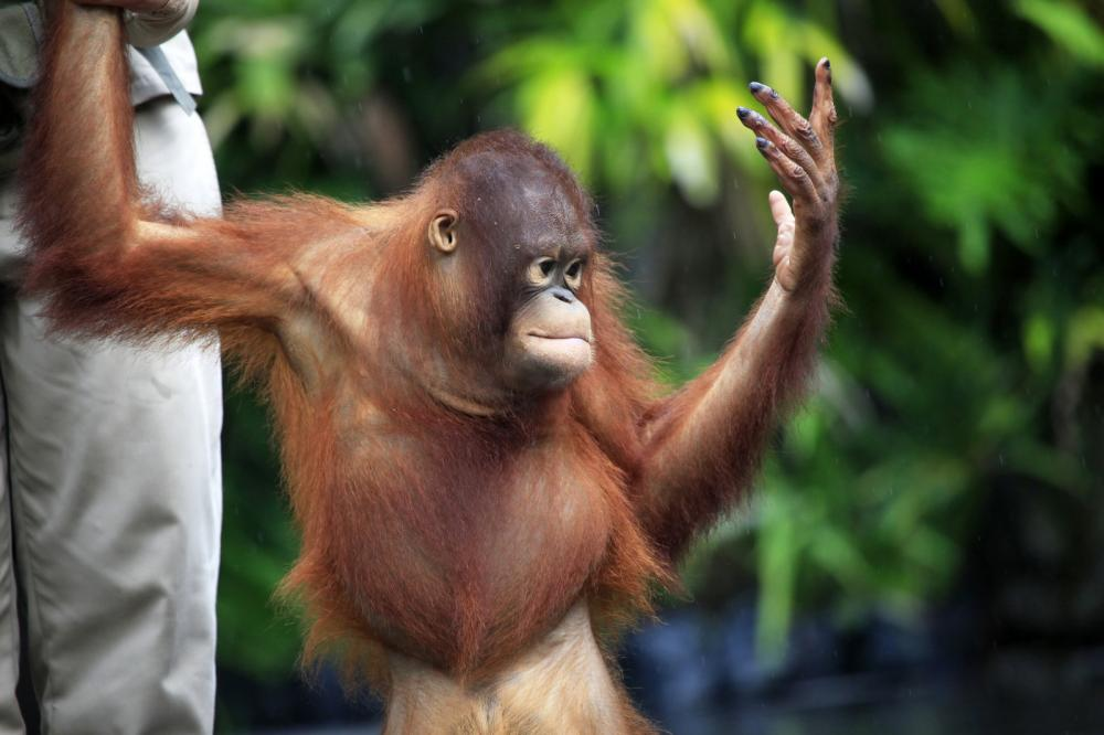 Tierpark Olderdissen Bielefeld: Affen, Bären, Elche, Rehe, Esel, Rinder, Bison, Rothirsch, Braunbär, Auerhahn, Pfau, Eulen, Wisent, Wildschweine, Hirschwild, Rotwild, Heimtiere, Wildtiere,  Öffnungszeiten, Anfahrt, Eintritt, Tiere, Restaurantyoung-orangutan