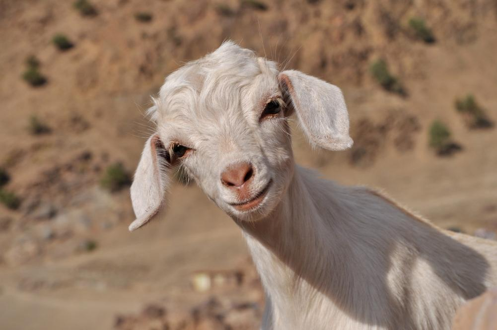 young-white-goat-looking-in-to-the-camera