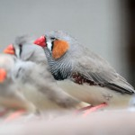 zebra-finch-birds
