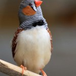 zebra-finch-male (1)