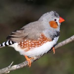 zebra-finch-male