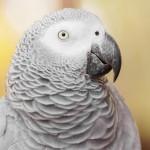 african-grey-parrot (1)