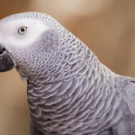 african-grey-parrot