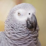 african-grey-parrot (2)