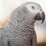 african-grey-parrot (3)