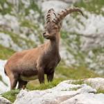alpine-ibex