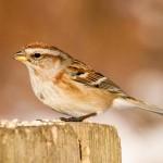 american-tree-sparrow