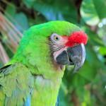 ara-militaris-military-macaw-green-parrot