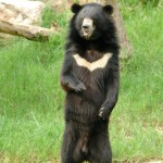 asiatic-black-bear (1)