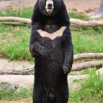 asiatic-black-bear