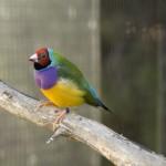 australian-finch-gouldian-red-headed-male-bird-with-purple-green