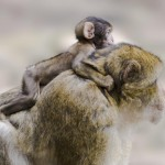 barbary-ape-with-baby