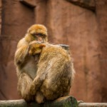barbary-macaque-grooming