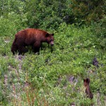 bear-and-cubs