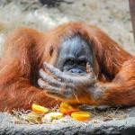 big-orangutan
