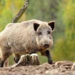 big-wild-boar