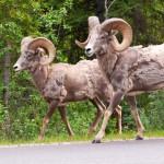 bighorn-sheeps-walking