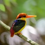 black-backed-kingfisher (1)