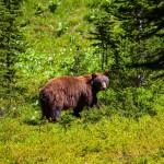 black-bear (1)