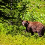 black-bear (2)