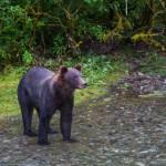 black-bear (3)