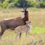 blesbok-antelope-and-calf