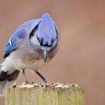 blue-jay (3)
