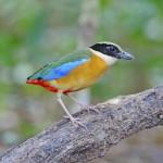 blue-winged-pitta