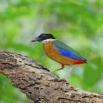 blue-winged-pitta (2)