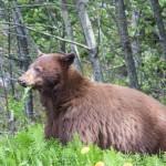 brown-bear (1)