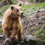brown-bear-ursus-arctos (1)