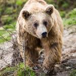 brown-bear-ursus-arctos