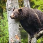 brown-bear-ursus-arctos (2)