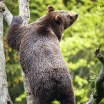 brown-bear-ursus-arctos (3)