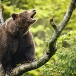 brown-bear-ursus-arctos-sitting-on-a-tree-screaming-loudly