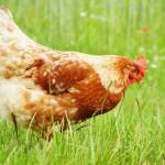 brown-chicken-in-grass